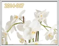 orquideas para dama