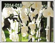 orquideas en guatemala para novia