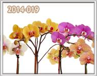 orquideas en guatemala para señorita