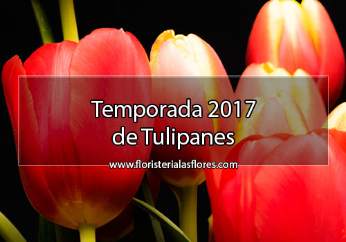 Tulipanes en Guatemala