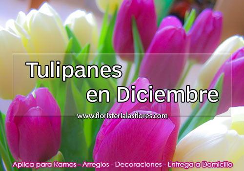 Tulipanes en Diciembre en Guatemala