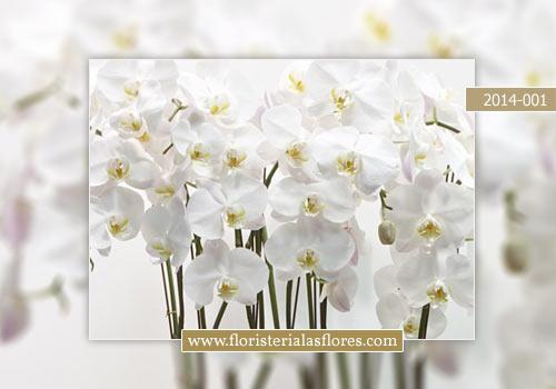 venta de orquideas blancas en guatemala